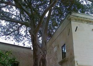 Lecce, Ex Conservatorio S.Anna, Ficus Magnuloides